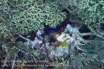 102_Ai-1_Two-Spined-Angelfish_20141115_IMG_5301.jpg