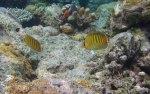 105_Ai-1_Spot-Banded-Butterflyfish_20141119_IMG_6259.jpg