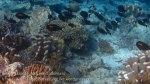 127_Ai-1_Orangeband-Surgeonfish_20141116_bscap0000.jpg
