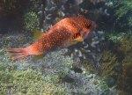 131_Ai-1_White-Spotted-Pufferfish_20141123_IMG_7279.jpg