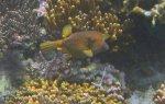 132_Ai-1_Yellow-Boxfish_20141123_IMG_7420.jpg