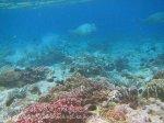202_Ai-3ab_Bumphead-Parrotfish_20141119_IMG_6155.jpg