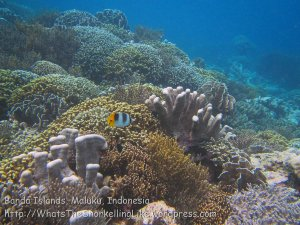 214_Ai-3bc_Pacific-Double-Saddle-Butterflyfish_20141119_IMG_6012.jpg