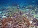 266_Ai-4e_Japanese-Surgeonfish_20141120_IMG_6401.jpg