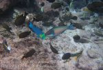 329_Manukan-North_Parrotfish_20141117_IMG_5782.jpg