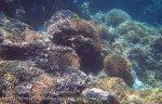 341_Manukan-NE_Coral_20141117_IMG_5798.jpg