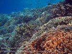 350_Manukan-East_Tomato-Anemonefish_20141117_IMG_5807.jpg