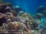 351_Manukan-East_Coral_20141117_IMG_5823.jpg