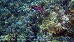363_Manukan-SE_Bignose-Unicornfish_20141117_IMG_5690.jpg