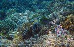 374_Manukan-SW_Regal-Angelfish_20141117_IMG_5735.jpg