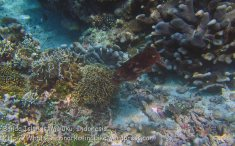 375_Manukan-SW_Cuttlefish_20141117_IMG_5740.jpg