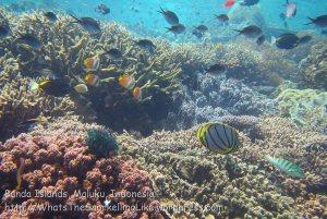 Indo_Bandas_417_Hatta-1d_Coral-Meyers-Butterflyfish_20141127_IMG_8593
