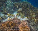 419_Hatta-1d_Teardrop-Butterflyfish_20141127_IMG_8606.jpg