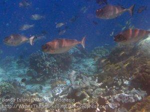 435_Hatta-1f_Humpnose-Unicornfish_20141127_IMG_8422.jpg