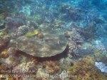 Indo_Bandas_436_Hatta-1f_TableCoral-HumpnoseUnicornfish_20141127_IMG_8504