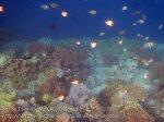 451_Hatta-2a_Pyramid-Butterflyfish_20141125_IMG_8113.jpg