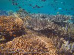 Indo_Bandas_454_Hatta-2a_Corals_20141127_IMG_8400