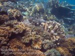Indo_Bandas_455_Hatta-2a_Corals_20141127_IMG_8397