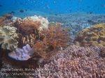 460_Hatta-2ab_Shallow-Corals_20141125_IMG_8062.jpg
