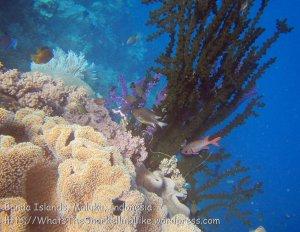 Indo_Bandas_499_Hatta-2d_BlackCoral-BigScaleSoldierfish-WhitebellyDamselfish_20141126_IMG_8143