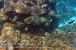 515_Hatta-2e_Napoleonfish_20141126_IMG_8187.jpg
