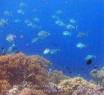 541_Hatta-2g_Bluespine-Unicornfish_20141128_IMG_8904.jpg