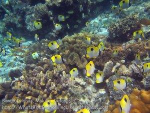 Indo_Bandas_569_Hatta-2g_Teardrop-Butterflyfish_20141126_IMG_8282