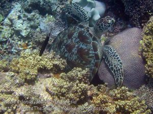Indo_Bandas_578_Hatta-2g_Turtle_20141128_IMG_8886
