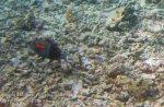 596_Hatta-2h_Orangeband-Surgeonfish_20141126_IMG_8339.jpg