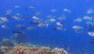 602_Hatta-3ab_Blue-Spine-Unicornfish_20141128_IMG_8913.jpg