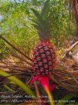 Indo_Bandas_652_Hatta-5d_Pineapple_20141130_IMG_9401
