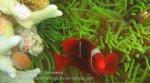 166_Kri-2_Spinecheek-Anemonefish_20141026_IMG_1757.jpg