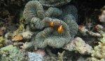 167_Kri-2_Orange-Anemonefish_20141022_IMG_0844.jpg