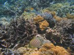 304_Kri-4bc_Ornate-Butterflyfish-_20141025_IMG_1541.jpg