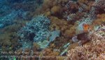 315_Kri-56_Blue-Spotted-Ribbontail-Ray_20141025_IMG_1599.jpg