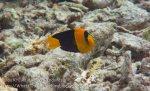 350_Kri-7c_Bicolour-Angelfish_20141021_IMG_0393.jpg