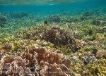 353_Kri-7c_Blue-Coral_20141027_IMG_1972.jpg