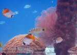 Indo_RA_369_Kri-8b_Threadfin-Butterflyfish-Checkered-Snapper-Black-Banded-Snapper_20141021_IMG_0432