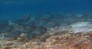 392_Kri-8d_Schooling-Bumphead-Parrotfish_20141023_IMG_1186.jpg