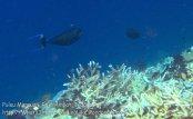 395_Kri-8e_Bignose-Unicornfish_20141023_IMG_1071.jpg