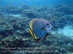 415_Kri-Sawandakek_Batfish_20141019_PA190038.jpg