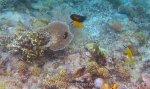 506_Gam-G5_Orangeband-Surgeonfish_20141029_IMG_2376.jpg
