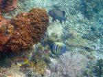Indo_RA_511_Gam-G5_Many-Spotted-Sweetlips-Six-Banded-Angelfish-Panda-Butterflyfish_20141029_IMG_2370
