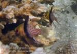 549_Gam-G9f_Pyjama-Cardinalfish_20141031_IMG_2906_.jpg