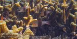 550_Gam-G9f_Girdled-Cardinalfish_20141031_IMG_3149.jpg