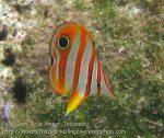 551_Gam-G9_Long-Beaked-Coralfish_20141031_IMG_2903.jpg
