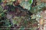 558_Gam-G9_Banded-Boxer-Shrimp_20141031_IMG_2928.jpg