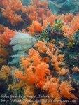 614_Gam-G20_Pssg-Soft-Corals_20141030_IMG_2510.jpg