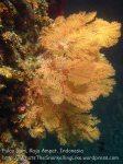 615_Gam-G20_Pssg-Soft-Corals_20141030_IMG_2522.jpg
