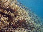 Indo_RA_640_Gam-G30_Near-PE-Split-Banded-Cardinalfish_20141030_IMG_2652